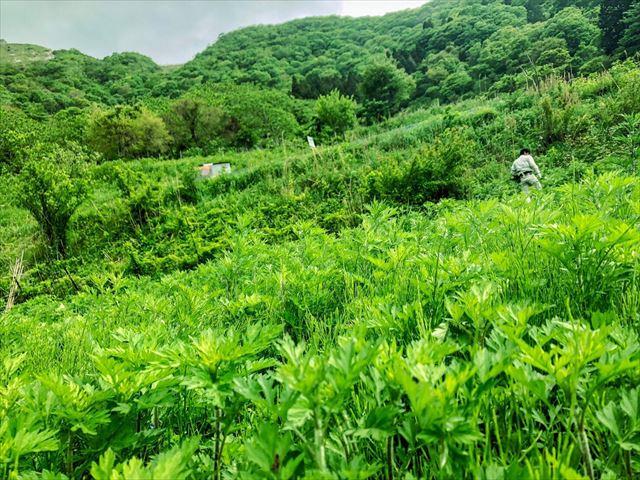 揖斐川町の伊吹山にて一面に広がり生える薬草